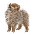 Pomeranian 01 vector image vector image