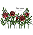 red torch ginger flower and leaf drawing vector image vector image