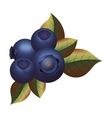 purple blueberries with green leafs vector image