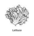 hand-drawn lettuce vector image vector image