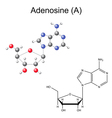 Chemical formula and model of adenosine vector image vector image