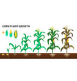 corn plant growth farm and agriculture steps vector image vector image