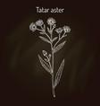 tatarinows aster aster tataricus medicinal plant vector image