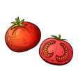 colorful sketch tomato vector image