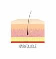 hair follicle human skin layers with hair vector image