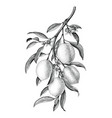 lemon branch black and white vintage clip art vector image