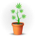 cannabis plant grows in flowerpot vector image vector image