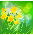 card with daffodils on light green bokeh vector image vector image