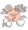 hand drawn orange fruits vector image vector image