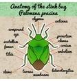Insect anatomy shield bug Palomena prasina vector image vector image