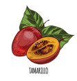 tamarillo full color realistic hand drawn vector image vector image