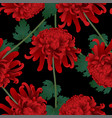 red chrysanthemum flower on black background vector image
