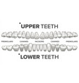 3d teeth set human upper and lower teeth vector image