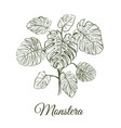 monstera plant skech monstera hand drawing vector image vector image