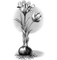 plant crocus from which saffron is obtained vector image