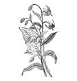 Borage vintage engraving vector image vector image