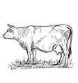 hand drawn cow on white backgrounddesign elements vector image