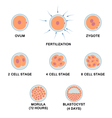 Development of the human embryo vector image