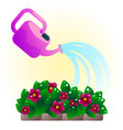 watering pink flowers vector image
