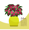 coleus plant in pot banner vector image vector image