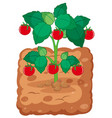 tomato plant on the soil vector image vector image
