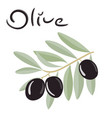 black olives on a branch with leaves vector image vector image