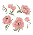 tender pink peony decoration hand-drawn garden vector image vector image