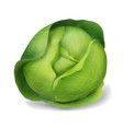 cabbage object vector image vector image