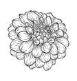 black and white dahlia flower isolated on vector image vector image