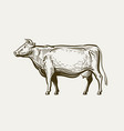 cow standing view profile farm animal beef vector image