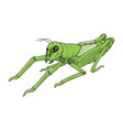 Green grasshopper on white background