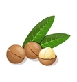Macadamia with leafs isolated on white vector image vector image