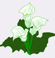 white callas vector image