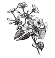 Four o Clock Flower vintage engraving