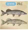 northern pike sketch fish and seafood signboard vector image vector image