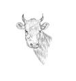 Sketch Head of a cow Hand drawn vector image vector image