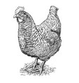 hand drawing of speckled hen or chicken vector image