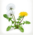 Dandelion flowers icon vector image