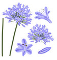 blue purple agapanthus - lily of the nile african vector image vector image