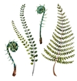 Watercolor fern leaves vector image vector image