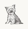 yorkshire terrier draw dog realistic sketch vector image vector image