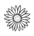 camomile flower hand drawn vector image