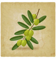 green olive branch vintage background vector image