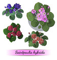 set flowering african violets with flowers