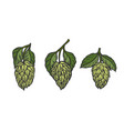hops and leaves vector image