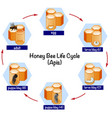 science honey bee life cycle vector image vector image