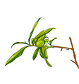 tea plant cartoon vector image
