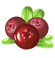 cowberry vector image vector image