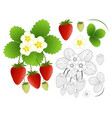 strawberry flower and outline isolated on white vector image