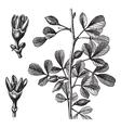 Myrrh vintage engraving vector image vector image